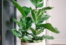 INDOOR PLANTS / Home garden tips, growing herbs, house plants, indoor plants, growing indoor plants, gardening tips, growing plants indoors