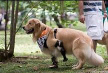 Theo the Golden in Brazil / Theo had a congenital deformity that caused one of his forelimbs to not form properly causing him to need an OrthoPets Carpus Prosthetic.  Due to the compensation of that limb, his opposite forelimb suffered some ligament damage and required an OrthoPets Carpus Orthotic Device to provide additional support.