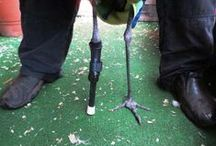 Bunker the Sandhill Crane with a Prosthetic / Bunker is a Sandhill Crane that lives on a golf course in Canada.  He had an encounter with a golfball and unfortunately lost part of his limb.  He now has an OrthoPets Prosthetic Device so he can continue to stroll the golf course.