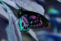 Butterflies / Vlinders
