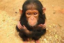 Gorillas & Monkeys(love them!)