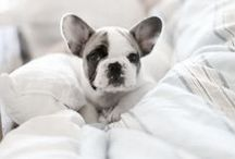 bulldogs pugs & other dogs
