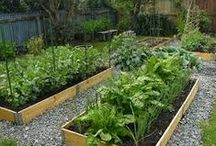 Vegetable Garden Dreams / I love my vegetable garden. Love producing food to be used by my family. Personally I'm trying to focus on produce which is specially good for Asian food.