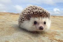 Hedgehogs! / We love hedgehogs.