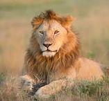 Africa / Photos taken on the Maasai Mara, Kenya, Africa, while on a photographic safari.