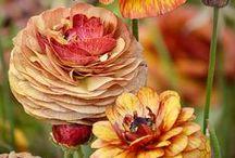 Ranunculus my favorite flower