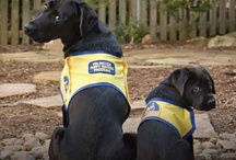 Assistance & Service Dogs / An assistance / service dog is a dog trained to aid or assist a person with a disability. Many are trained by a specific organization, while others are trained by their handler (sometimes with the help of a professional trainer). #assistancedogs #servicedogs