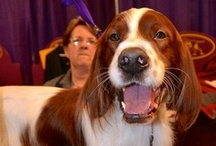 Westminster Kennel Club Dog Show 2013 / Images from and stories about the 2013 Westminster Kennel Club #Dog Show 2013. First held in 1877, the Westminster Kennel Club Dog Show is America's second-longest continuously held sporting event, behind only the Kentucky Derby. #Westminster #dogshows