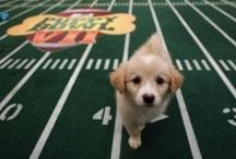 Animal Planet's Puppy Bowl / The Puppy Bowl is an annual television program on Animal Planet that mimics an American football bowl game similar to the Super Bowl, using puppies. More fun, of course! @animalplanet #puppies #dogs #puppybowl