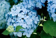 Flowers - Hydrangeas (Hortensia) / Hydrangea is a genus of 70–75 species of flowering plants native to southern and eastern Asia and the Americas. By far the greatest species diversity is in eastern Asia, notably China, Japan, and Korea / by Isye Whiting