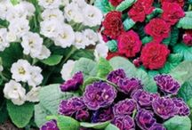 Flowers - Primroses / by Isye Whiting