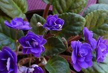 Flowers - Violets (Saintpaulia) / Saintpaulias, commonly known as African violets, are a genus of 6–20 species of herbaceous perennial flowering plants in the family Gesneriaceae, native to Tanzania and adjacent southeastern Kenya in eastern tropical Africa / by Isye Whiting