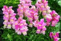 Flowers - Snapdragons (Antirrhinum) / Antirrhinums are a genus of plants commonly known as dragon flowers or snapdragons because of the flowers' fancied resemblance to the face of a dragon that opens and closes its mouth when laterally squeezed / by Isye Whiting