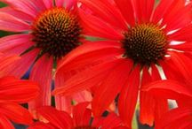 Flowers - Echinaceas (Coneflower, Rudbeckia) / Echinacea is a genus, or group of herbaceous flowering plants in the daisy family, Asteraceae. The echinacea genus has nine species, which are commonly called coneflowers / by Isye Whiting