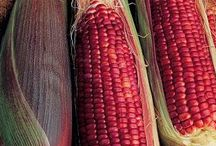 ABC's of Poaceae / Also called Gramineae or true grasses, it includes maize (corn), wheat, rice, barley, and millet / by Isye Whiting