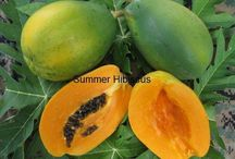 ABC's of Caricaceae / Asimina, the pawpaw genus, a genus of trees and shrubs native to eastern North America Common pawpaw (Asimina triloba), a temperate fruit tree, native to eastern North America   Papaya or pawpaw (Carica papaya), a widely cultivated tropical fruit tree  Mountain paw paw (Vasconcellea pubescens), a fruit tree native to South America   / by Isye Whiting
