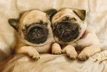 Pugs / Pug life :)