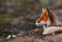LE ROMAN DE RENARD. / foxes.