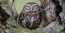 GA'HOOLE. / owls.