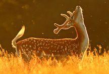 Bambi. / deer.