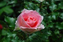 想い出の薔薇達 / 今迄に出会った 魅力的な想い出の薔薇達です。