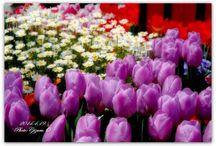 春の花   チューリップと… /  とっとり花回廊    というテーマパークがあります。 四季折々の愛らしい花々が迎えてくれます。