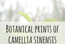 Botanical Prints of Camellia Sinensis