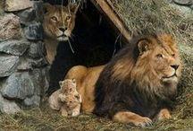 Lions Roar / Vanguard Lions ROAR - Cool photos of our fierce and fearless mascot   Website: http://www.vanguard.edu/studentlife/family-relations/faq/ / by Vanguard University