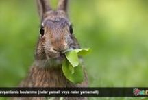 Tavşanlar / Petcim üzerinde, tavşanlar ile ilgili bilgilendirici makale ve resimler.