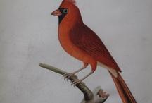 Albin Birds