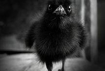 Corvidae / Crows, ravens, magpies, jays