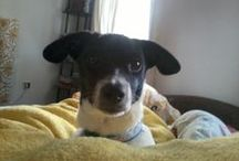 Carlos my Happiness <3 JRT / He is my adored jack russel dog, Carlos.