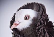 razas de palomas / Las distintas razas de palomas,  con todas su variaciones de formas, colores y tamaños