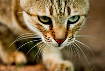 The Journey / Strengthening our bonds with our cats means more than just understanding their heritage - it means understanding their instincts. 