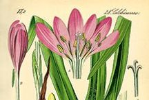 Botanical Prints / The illustrators who accompanied explorers to The New World blended art and science, observation and imagination to create a beautiful interpretation of nature. Find an ode to these vintage botanical illustration below or BeautifulMedicine.com.
