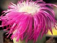 Succulent / Cactus