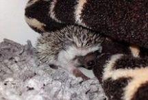Hedgehog | Witbuikegel / Wij hebben een witbuikegeltje (Jackie) dus ik ben gek op allerlei lieve, schattige plaatjes met witbuikegels, maar pin ook graag ideetjes voor in het verblijf.