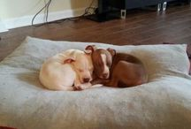 Pit Bulls / All about our Red Nose Pit Bulls: King & Kane (Brothers) / by GuChet