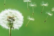 Soffioni / Per #semi242 ho pensato che il soffione poteva ben rappresentare la disseminazione dei semi tramite l'aria... Scegliamo insieme la più bella?