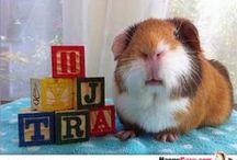 George & Henry / guinea pig information