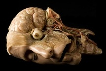 ceroplastica / wax anatomical models