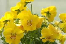 Keltaisena kukkivat