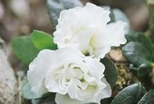Valkoisena kukkivat