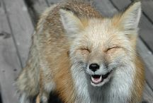 My favorite Foxy. Photos / The fox is one of my most favorite animals.