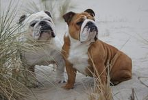 English bulldogs / L❤️VE