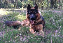 Bongo German Shepherd / Lovely German Shepherd from Warsaw