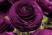 Purple ❤️❤️