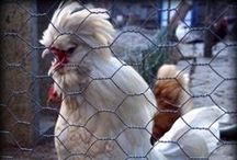 Freedom farm animals / Of poultry Farm - Chickens, hens, roosters, geese, pigeons, peacocks and ostriches. Liberal animals into a prison not. They have the freedom