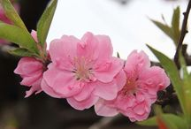 Sakura / Ota gunma JAPAN
