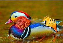 Птицы: Утка мандаринка